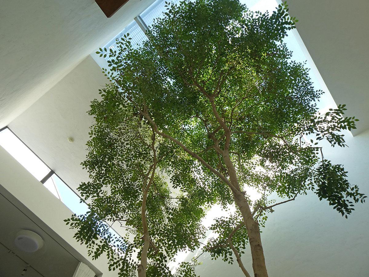 広場から天井を眺めるとこんな感じ。青空と大きく育ったシマトネリコ