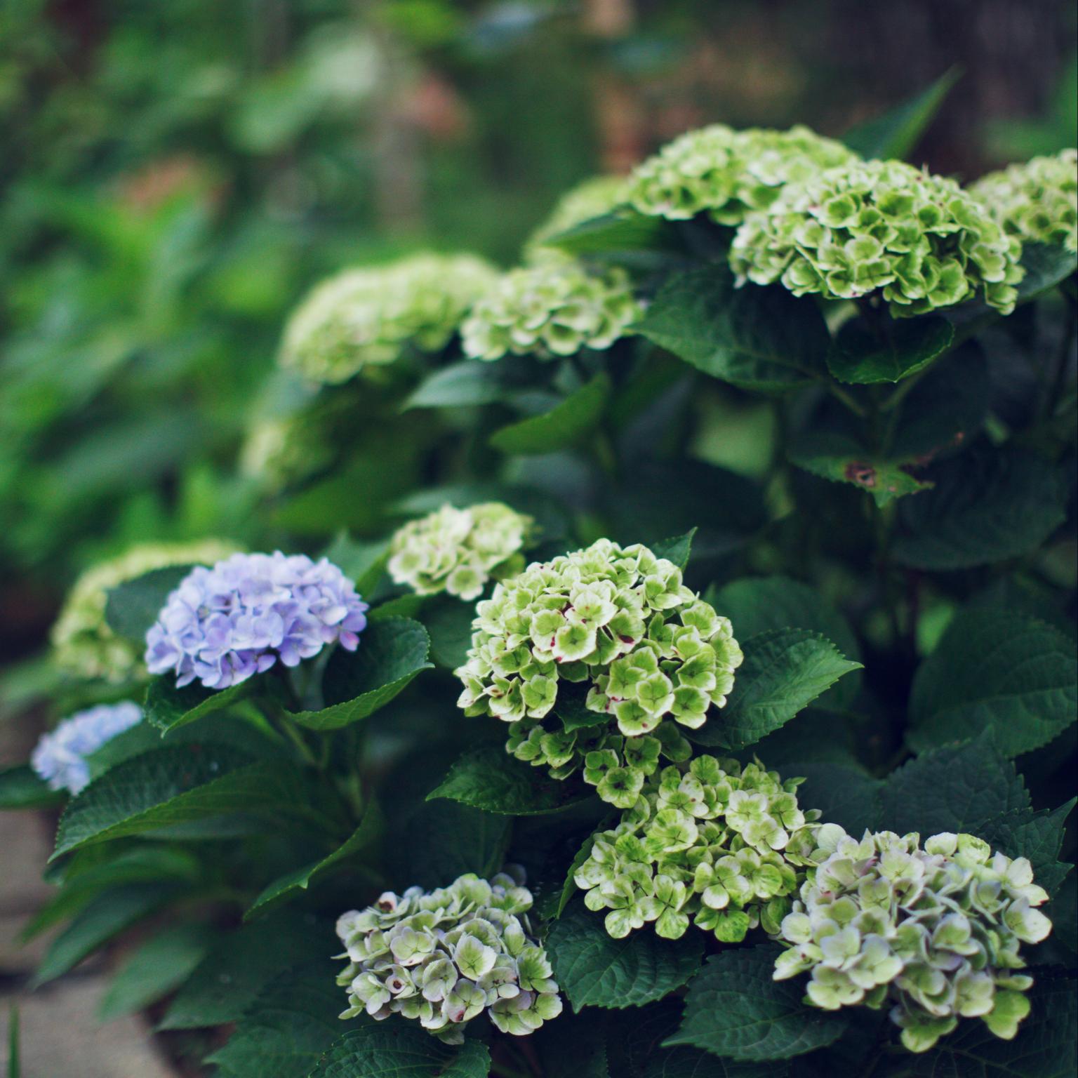 庭/my garden の花/紫陽花/部屋全体のインテリア実例 - 2020-07-14 22:26:49