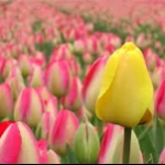 tulipさんのお部屋