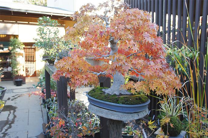 ▲紅葉した盆栽で四季を感じられます