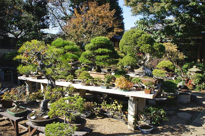 ▲奥には樹齢400年を超える貴重な盆栽達も※当日は特別に全景の撮影をさせていただきました