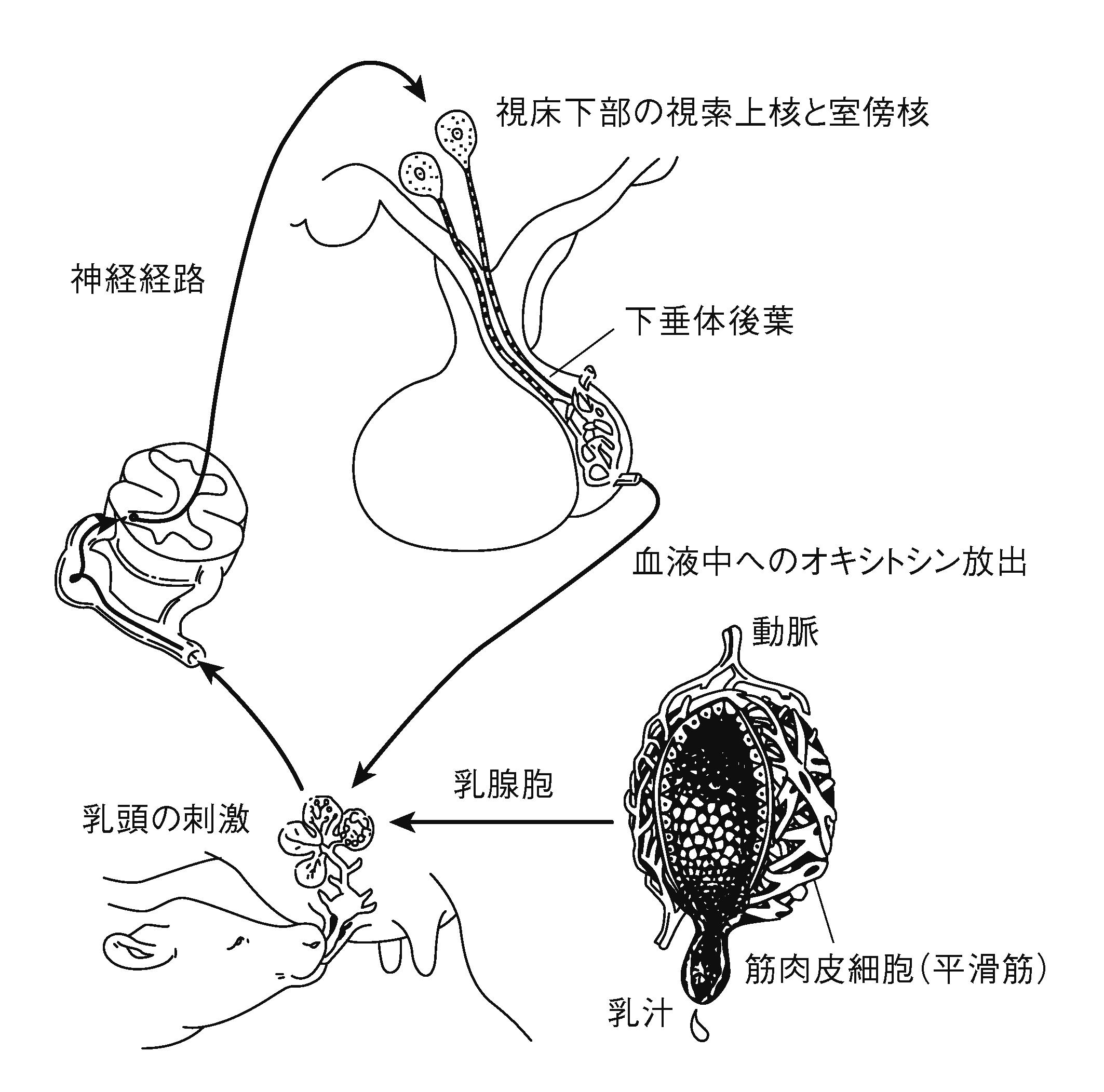 泌乳と搾乳の生理