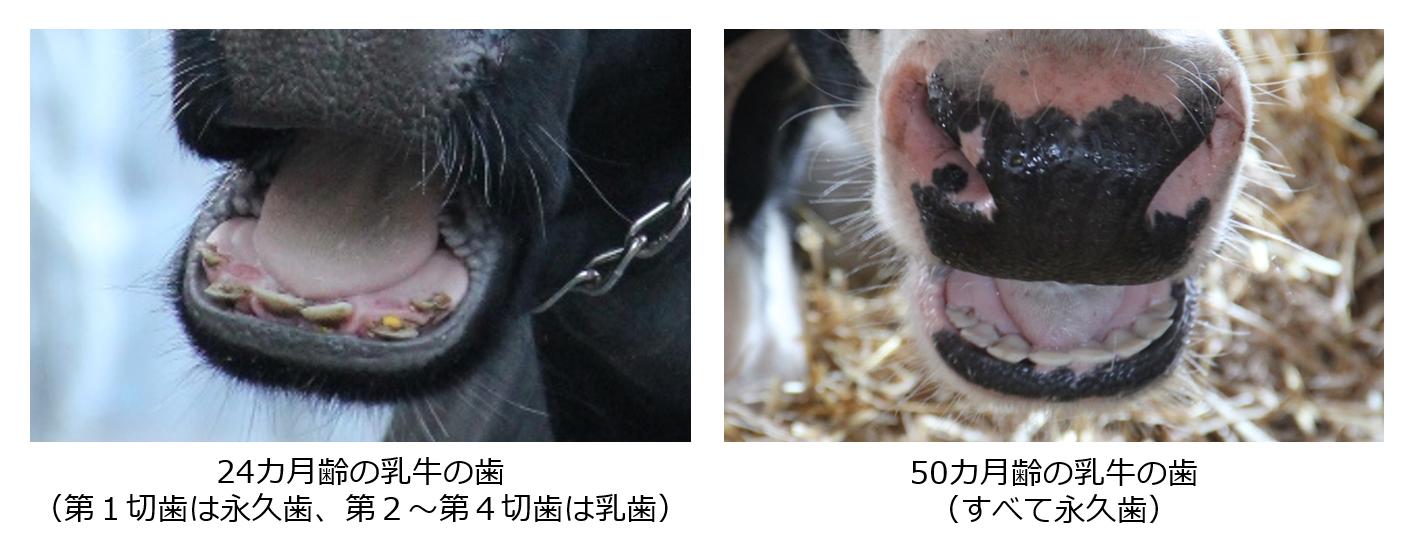 乳牛の基本情報 ~歯~