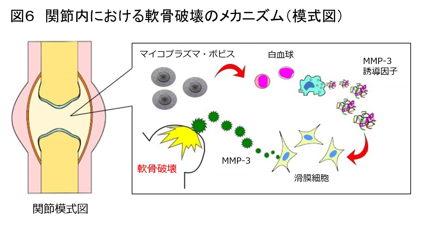子牛のマイコプラズマ関節炎とその病態形成メカニズム