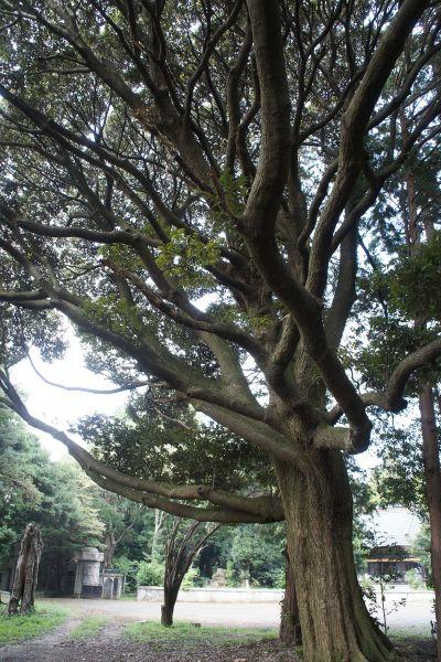 大日苑(ダイニチエン)/旧植竹庄兵衛邸広場前の大木