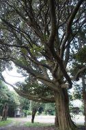 大日苑(ダイニチエン)/旧植竹庄兵衛邸:広場前の大木