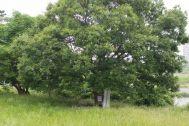 多摩川ロケ地(Studio Lulu 狛江):大きな木があります