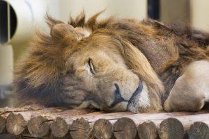 残業疲れで寝るライオン