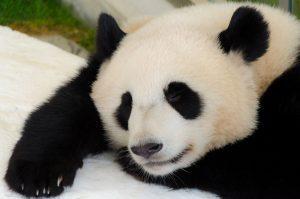 五月病でやる気が出ないパンダ