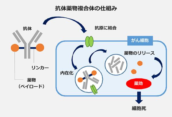 抗体薬物複合体の仕組み