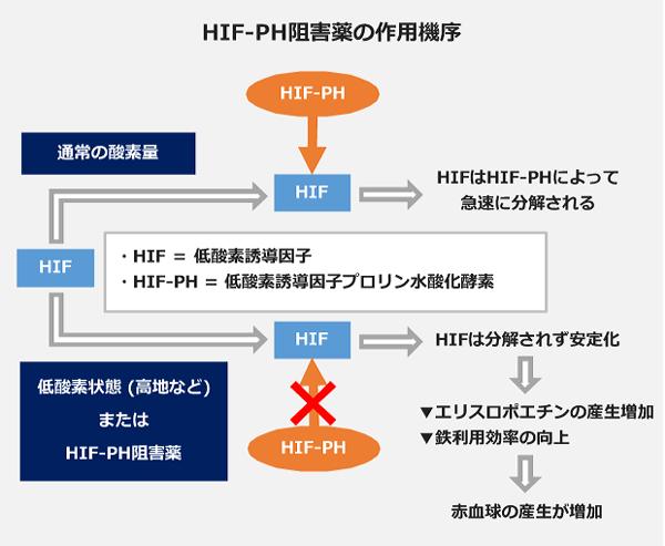 HIF-PH阻害薬の作用機序