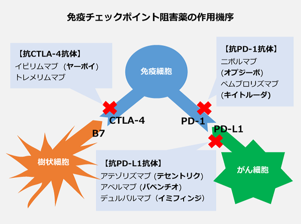 免疫チェックポイント阻害薬の作用機序