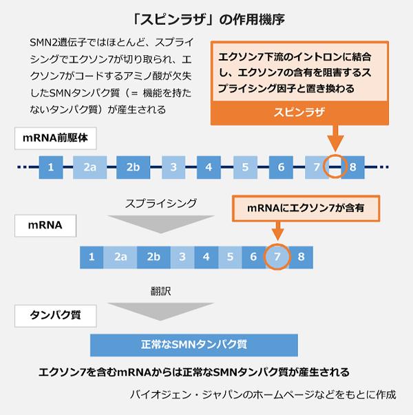 「スピンラザ」の作用機序。SMN2遺伝子ではほとんど、スプライシングでエクソン7が切り取られ、エクソン7がコードするアミノ酸が欠失したSMNタンパク質(=機能を持たないタンパク質)が産生される。スピンラザは、エクソン7下流のイントロンに結合し、エクソン7の含有を阻害するスプライシング因子と置き換わる。
