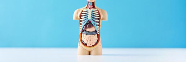 Human anatomy mannequin with internal organs on a blue backgroun