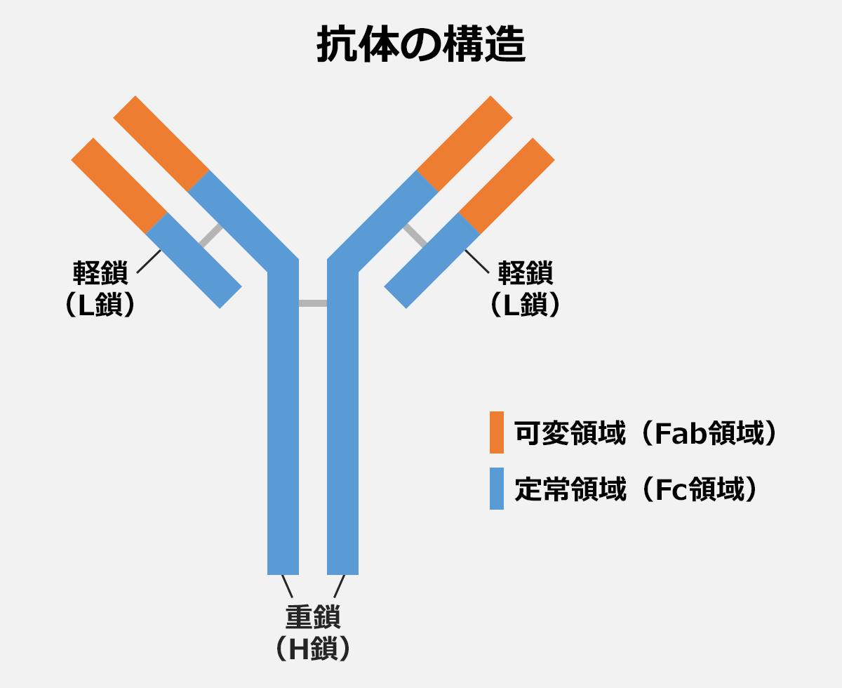 【抗体の構造解説イラスト】