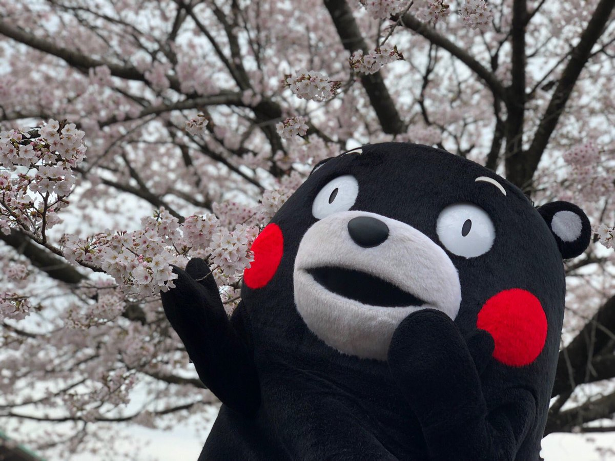 おはくま〜!桜がモン開だモーン!!