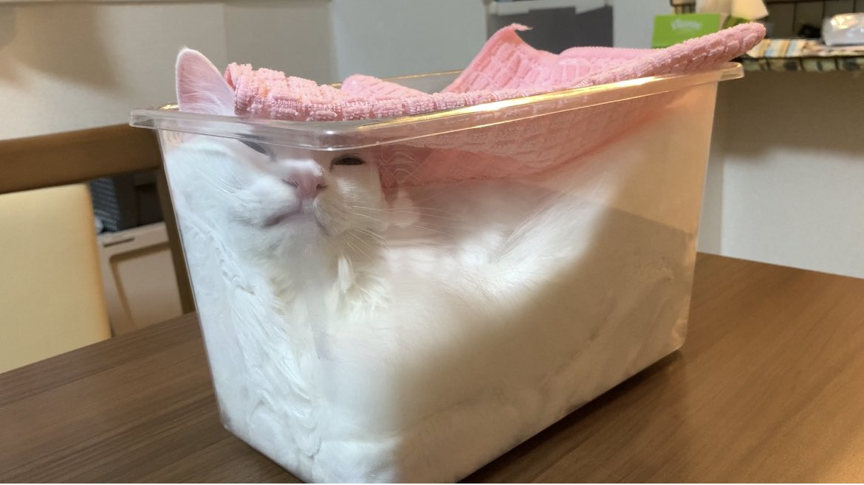 しっかりとフタをして発酵させてます🍞  #猫 #マンチカン #雪之丞 #cat