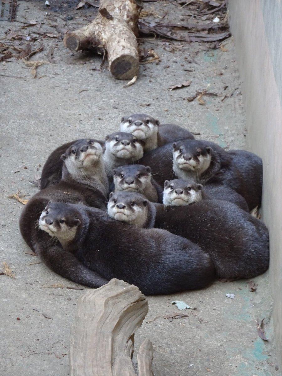 カワウソを覗くとき、カワウソもまた覗いているのだ…  #コツメカワウソ #カワウソ #カワウソ団子 #智光山公園こども動物園