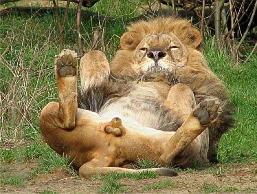 Q:どうしてオスのライオンは身内からキンタマ狙われるんですか A:思わず狙いたく形状しているので仕方ないと思います