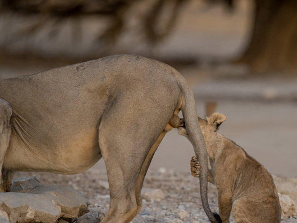 Q:コロナが蔓延してるのでどうでもいい話してくれ A:オスのライオンは身内からキンタマをやられ続けます