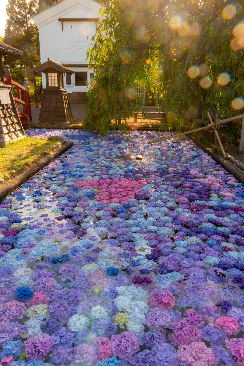 松前藩屋敷 浮き紫陽花