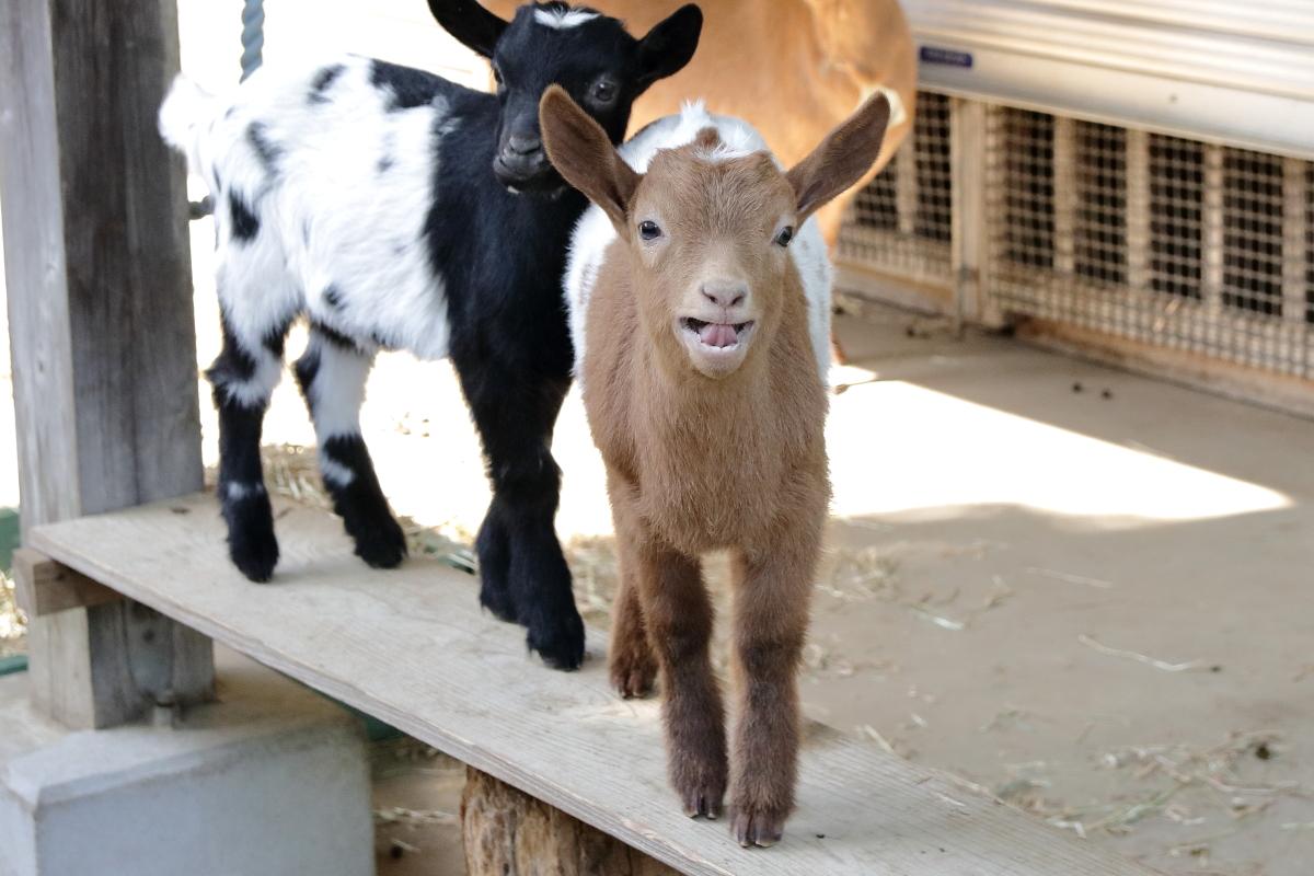 ヤギの双子は珍しくはないが、ここまでハッキリと模様が一致しているのは珍しいのではないかと思う