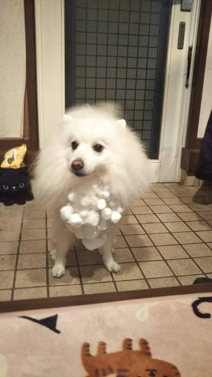 実家の犬が雪の中ではしゃいだそうです