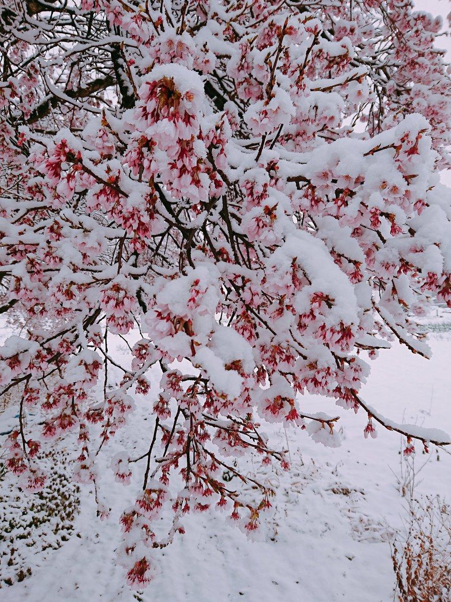せっかく咲き始めた桜の上に💦 でも長く楽しめるかな🎵 でもでも、雪が重くて、枝が折れちゃいそう(;゚∇゚)  #長野県