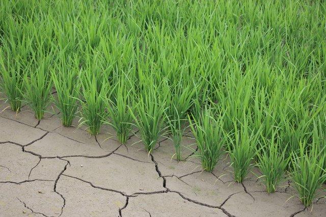 夏の暑い時期に、田んぼから水を抜いて土を乾かすのは「中干し」だァ