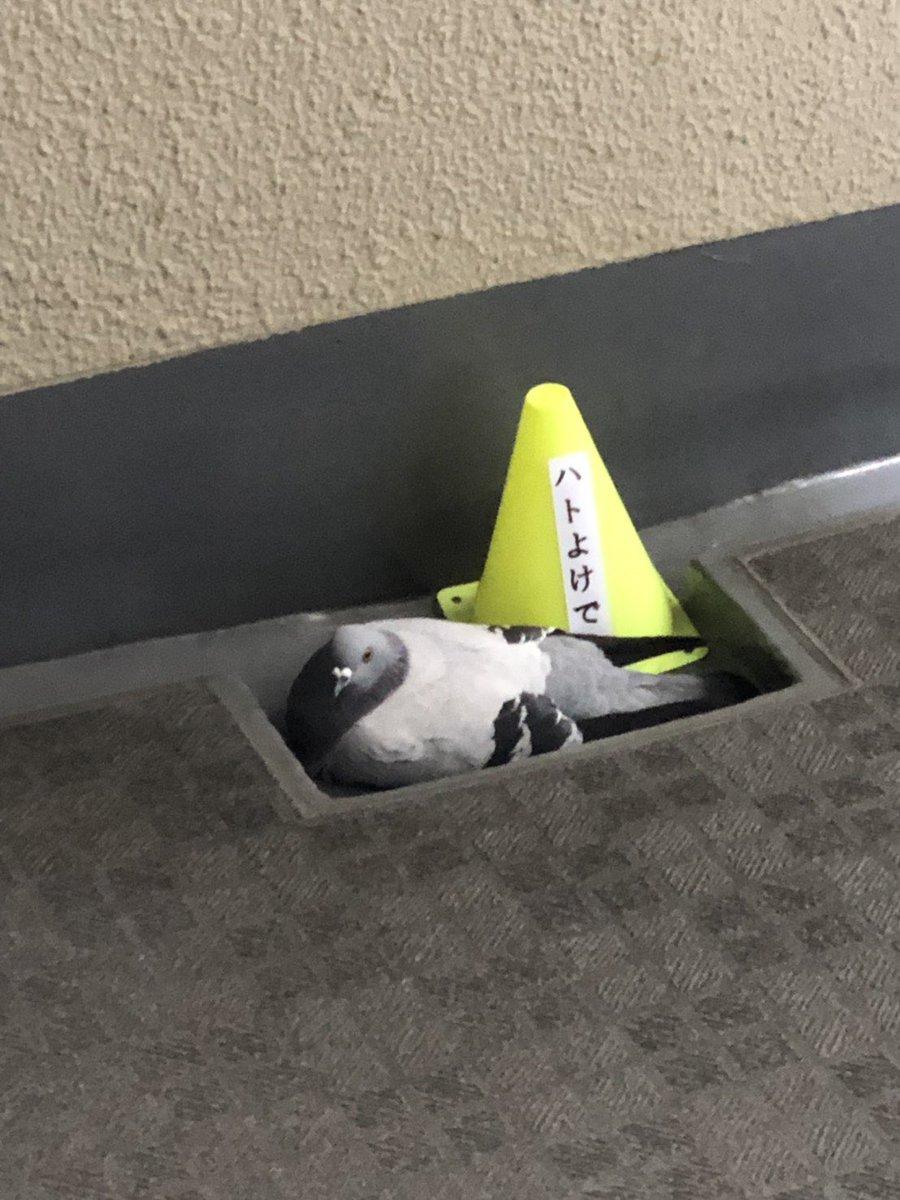 昨日は赤色のコーン 今日は黄色のコーン 色を変えただけでは鳩は何も変わりませんww あと鳩字読めへんやろwwww  この鳩が可愛すぎて毎朝の癒しww