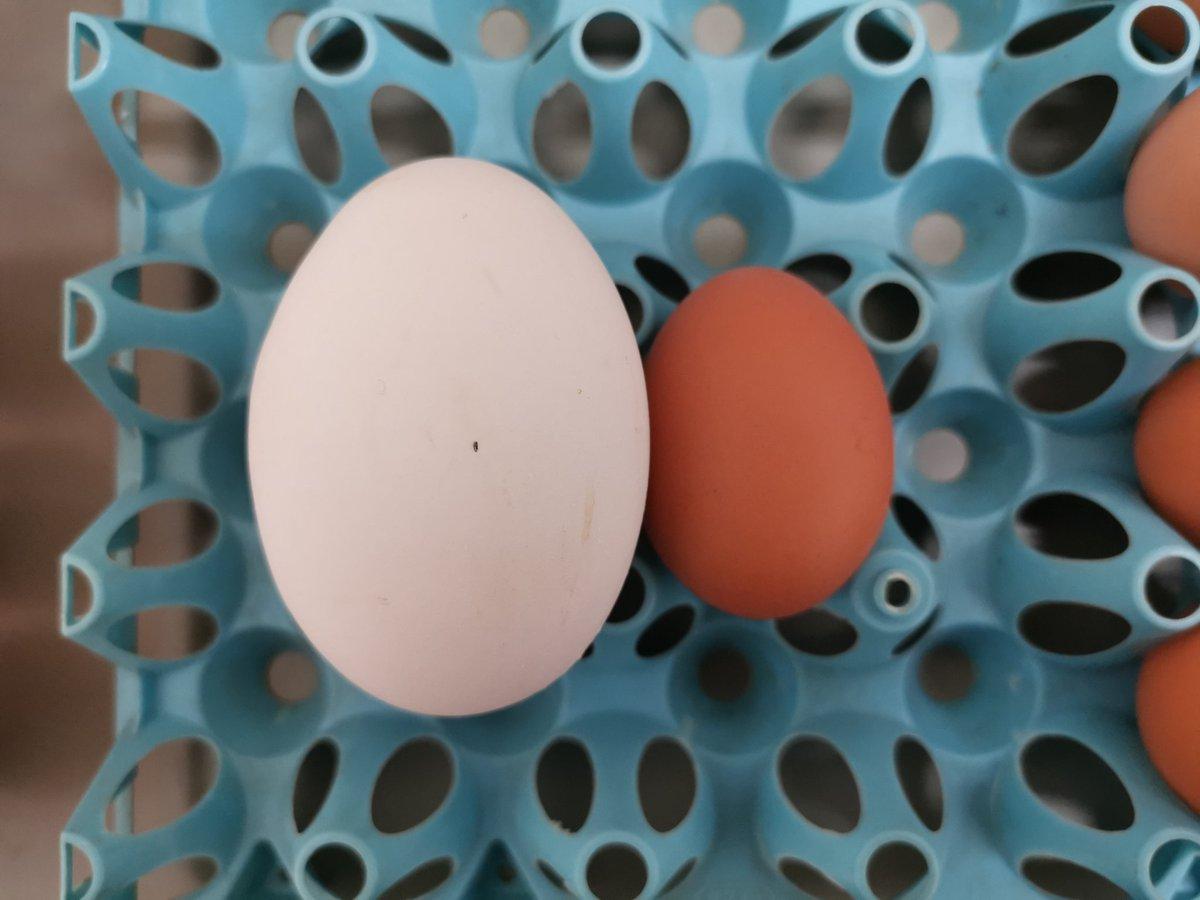 2年近く卵を割ってきましたが、ニ重卵は初めて見ました