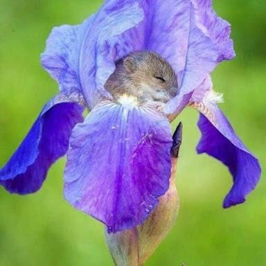 みんなに届けたい  花粉を食べるカヤネズミ  お腹いっぱいになると花の中で寝ちゃうそうです  かわいいですね.....😭🐀🌹💐🌹🌷