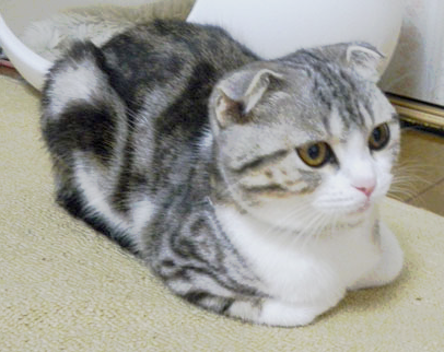 これはネコ科の中でも ライオンや虎にはできない 猫特有の座り方です