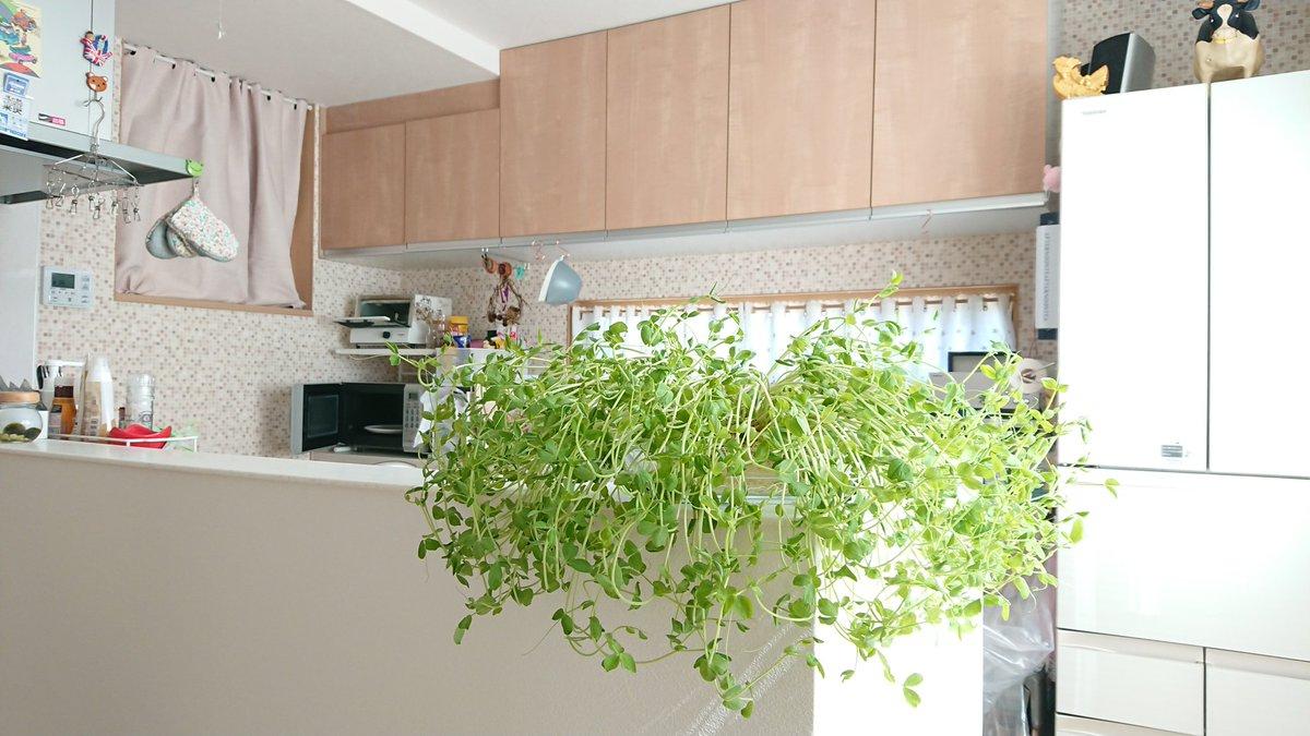 緑のあるキッチンはいいですね☺️ 食べるタイミングを失い成長を続ける私の豆苗🌱
