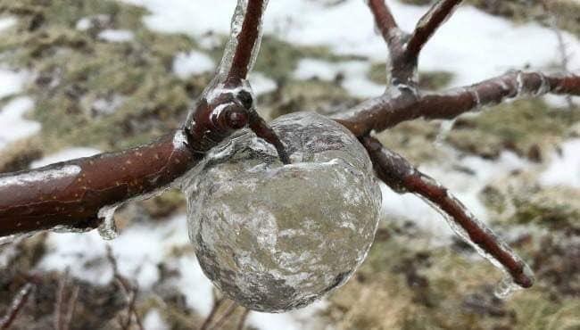これは、ダメになっているがまだ地面に落ちるていないりんごを、冷たい雨が氷となってコーティングし、りんごは腐ってドロドロになり落ちて、りんごの形をした氷が木についたまま残るめずらしい現象だそう