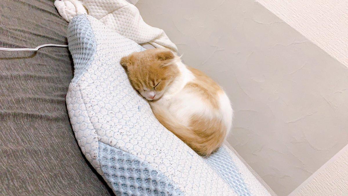 ゆきまる、台所の水張ったシンクに落ちたので仕方なくシャンプーしたら人間なんか信じるもんか猫になってしまった