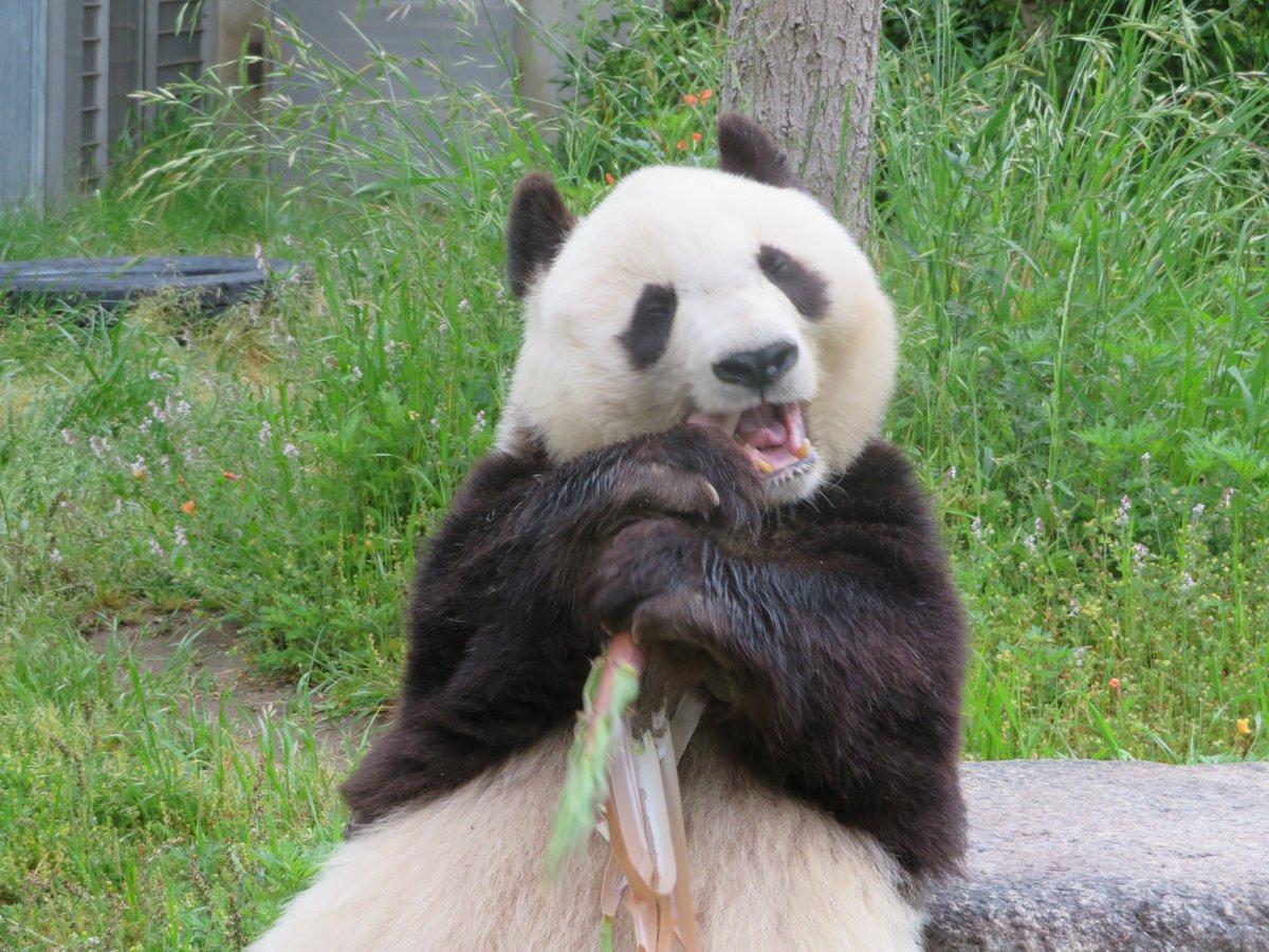 #きょうのタンタン #王子動物園 #ジャイアントパンダ #休園中の動物園水族館 #恍惚な笑みを浮かべる白黒なあの子  (5/31まで休園中)