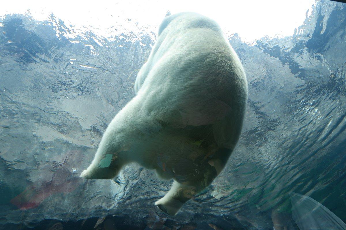 円山動物園のホッキョクグマ館は水中トンネルからこのアングルで浮遊するホッキョクグマさんを眺められるのがとてもよかったですね