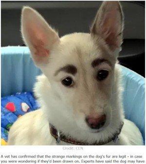 【話題】立派な「眉毛」の迷い犬、すぐに里親見つかる ロシア   施設に保護された際、誰かにいたずらで「眉毛」を書かれたと思った保護団体のスタッフが拭き取ろうとしたが本物の模様だった