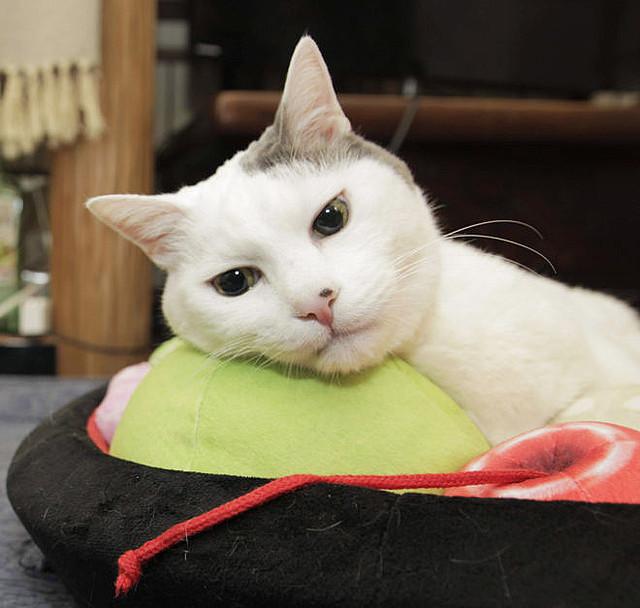 「あんみつにゃんこクッション」登場   猫がくつろぐと、トッピングように見えるクッション