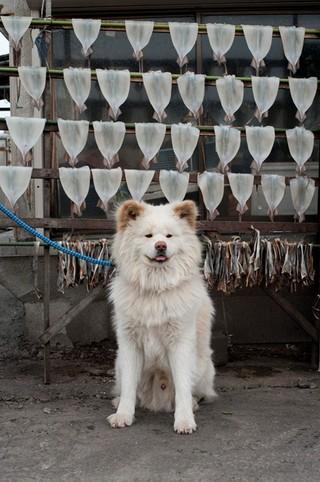 【人気犬】秋田犬「わさお」天国へ 推定13歳   青森県鰺ケ沢町で暮らす秋田犬「わさお」が8日に息を引き取ったことが分かった