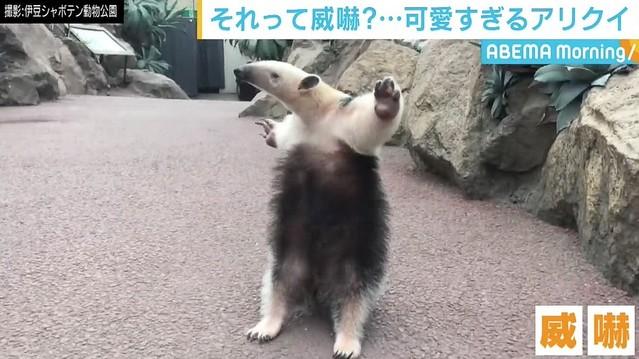 【かわいい】静岡の動物公園がミナミコアリクイの威嚇を撮影   3頭を飼育する同動物公園は、このポーズについて「威嚇というよりは甘えたいという意思表示では」と判断している