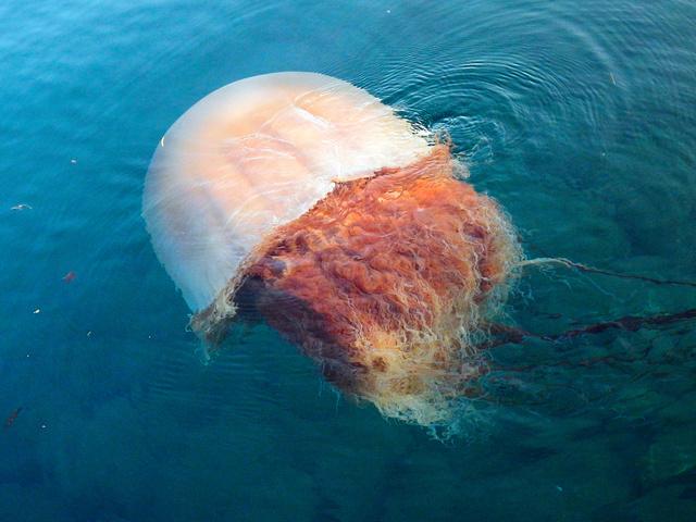 エチゼンクラゲは95年以降、日本近海で大量発生を繰り返している