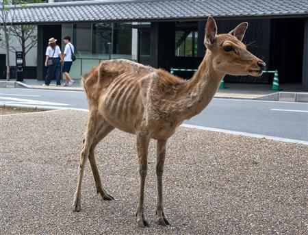 【コロナ禍】「鹿せんべい依存症」のシカ、観光客減でやせ細る 奈良   専門家は「人から餌をもらって食べるのが当たり前になって、環境の変化に適応できないのかもしれない」と推測している