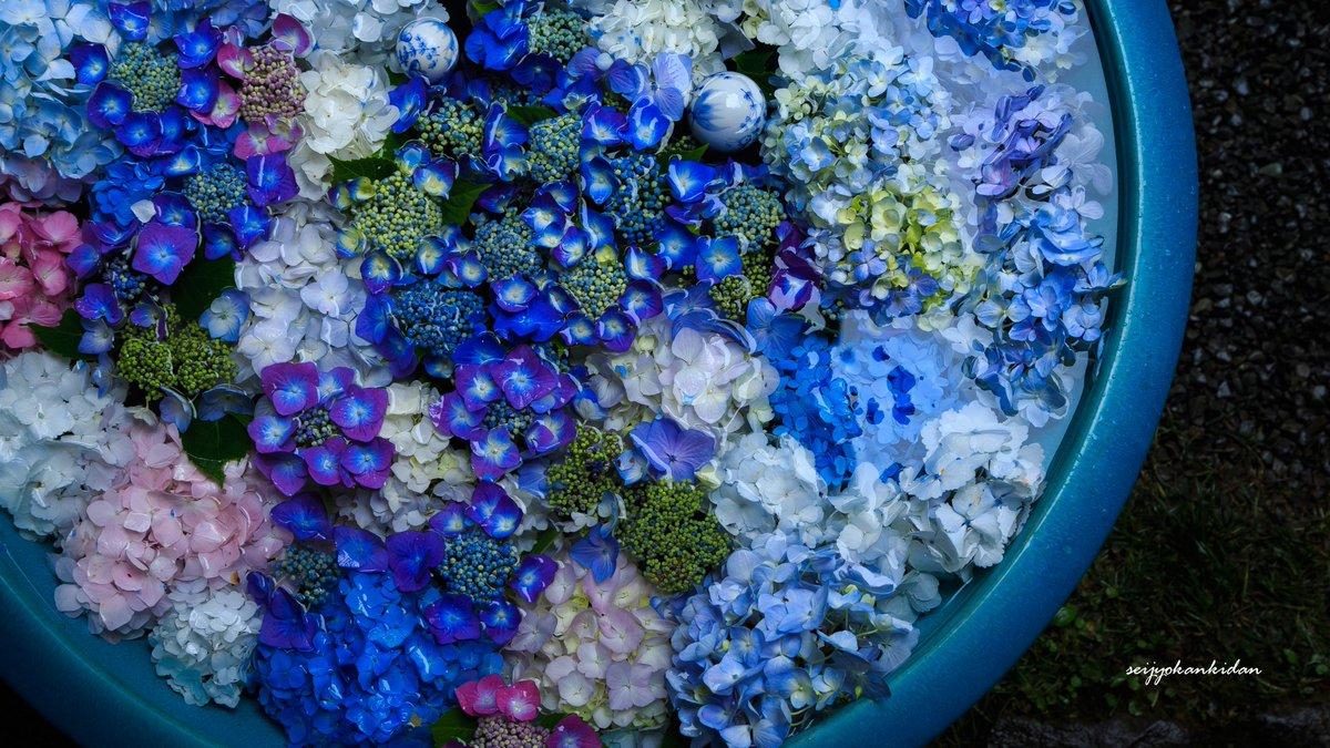 岩船寺の紫陽花手水がまるで小宇宙のように美しい。