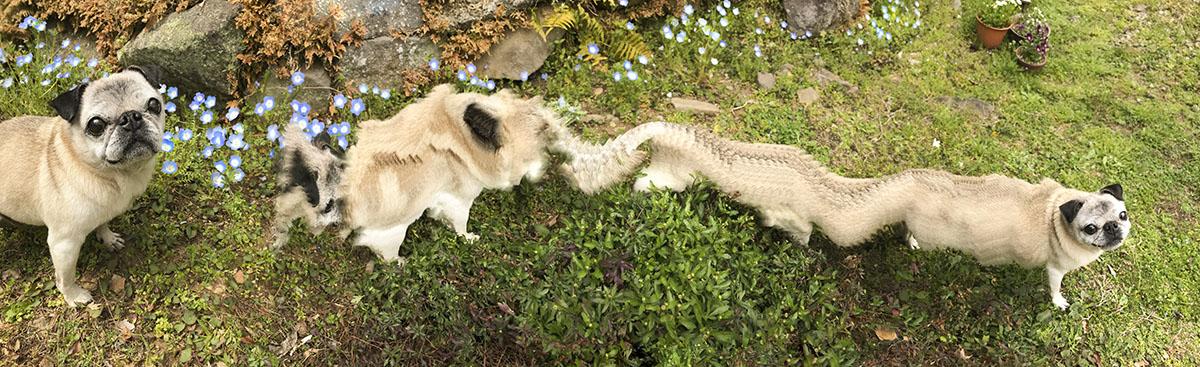 犬がパノラマ撮影の意味をわかってくれず、いつまでもついてきてしまう