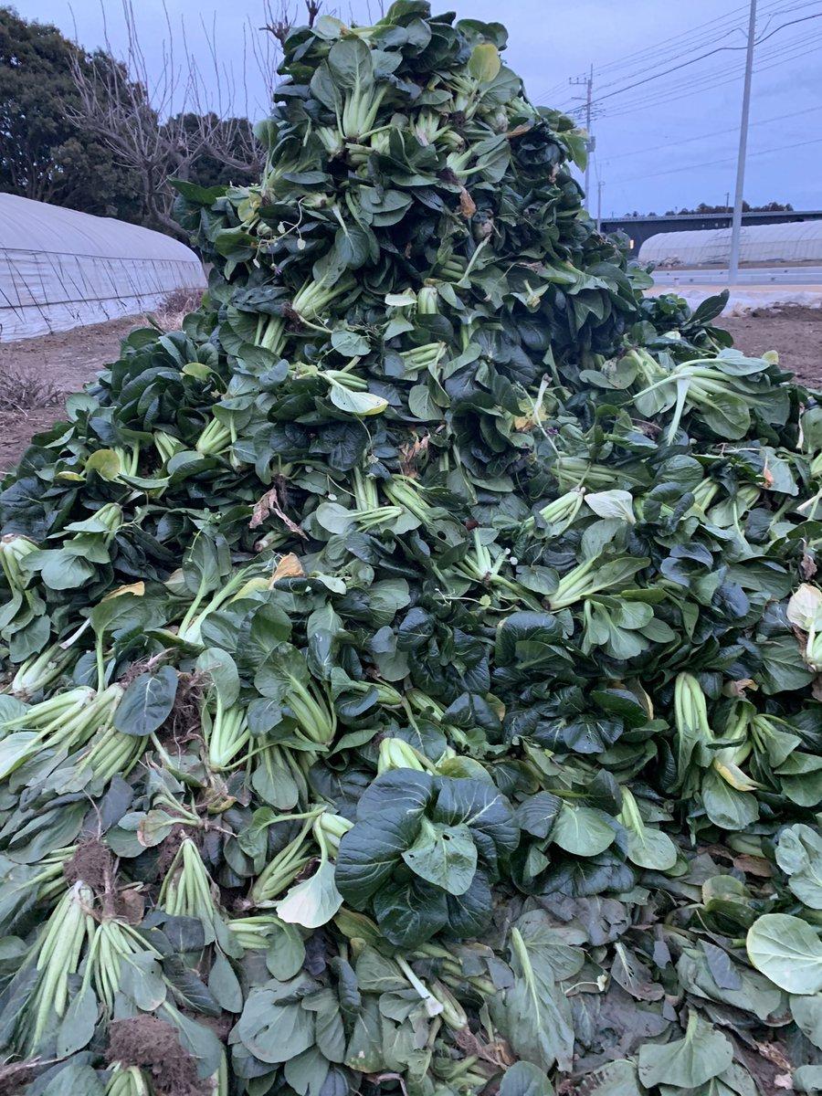 小松菜の取引価格の下落によって今日からしばらく廃棄になります