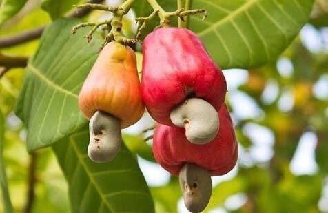 カシューナッツは、カシューフルーツという果物の先っぽにできる
