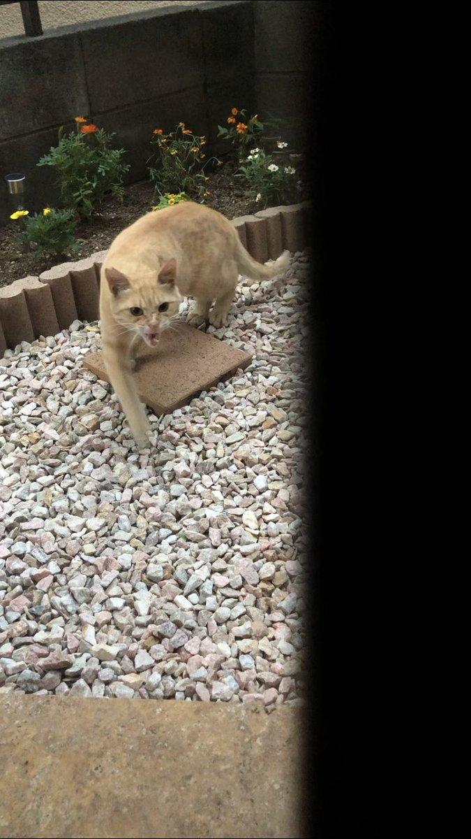 ブチ切れながらおやつをもらいに来る猫。