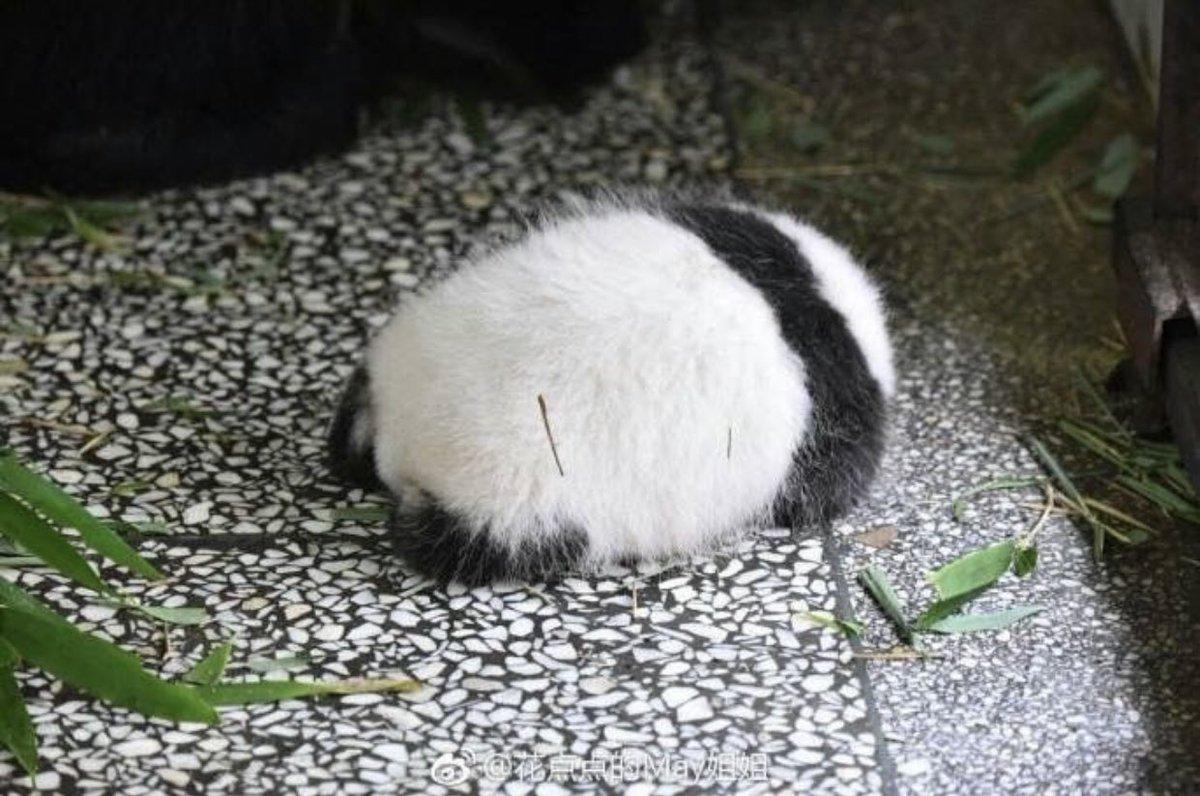 パンダの後ろ姿の可愛さを全世界に伝えたい